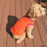 SASSY PAW Citrus Orange Size XL Pullover for Dogs