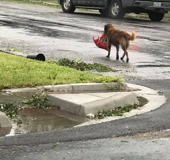 Dog Seen Carrying a Bag of Dog Food during Hurricane Harvey in Texas
